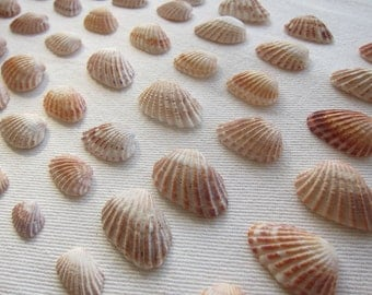 Seashells- CARDITA Shells- Beautiful, Orange color! *55pcs* Coastal Decor, Beach Decor, Nautical Decor, Florida