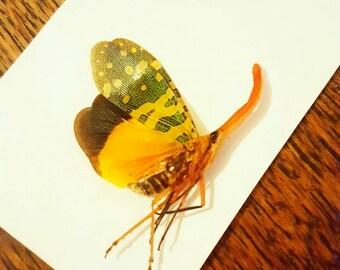 Lantern bug (unmounted)  taxidermy entomology curiosity