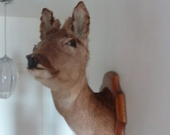 Vintage Wall Mounted DEER Head French Taxidermy Unusual Side Facing Pose