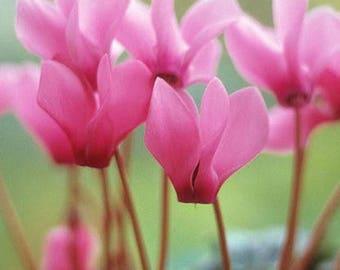5 seeds Cyclamen Pink Lovers Seeds big blooms Fragrant garden Flowers