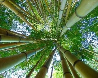 Bamboo - Photo Print