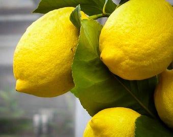 Eureka Lemon Tree 2-3 Foot