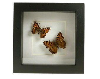 Mounted butterflies in frame-mounted butterflies (foxes) in list-