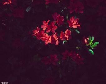 Azaleas Shadow Photograph Print  - Nature - Fine Art - Print - Flower - Decor