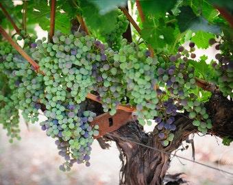 "Napa Sonoma Photography, Winery Decor, Grapes Print, Vineyard Art, Napa Valley, California | ""Future Wine"""
