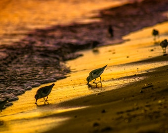 Plovers at Sunset,  Fine Art Print  8 x 12  Chatham