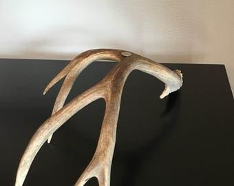 Large mule deer shed antler.