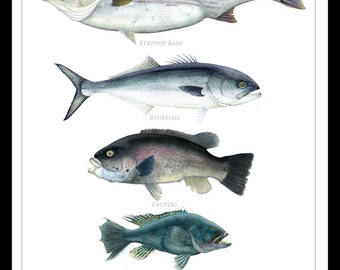 Coastal Gamefish of Cape Cod Poster