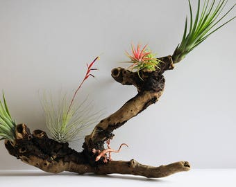 Airplant composition mounted on Driftwood