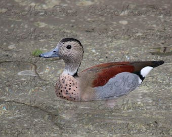 Ringed Teal (8 x 10 photo)