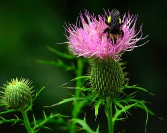 Bumble Bee on Thistle Bloom