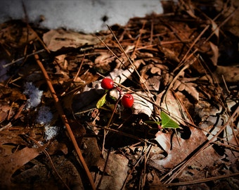 Red Berries - Spring, Leaves, Twigs, Forest Floor, Snow, Woods, Nature Photography