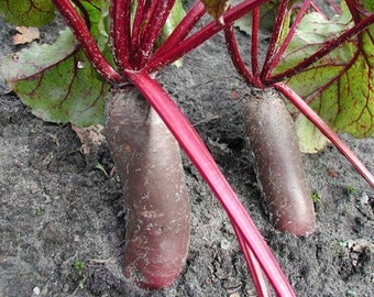 Cylindra Beet Seeds-Organic-NON-GMO-Vegetable Seeds