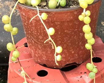 String of Pearls Succulents
