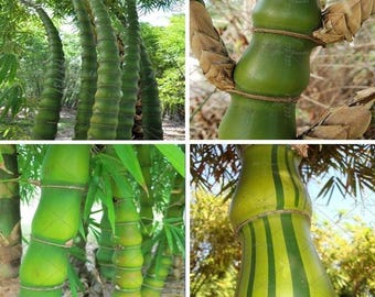 100++ seeds Buddha's Belly bamboo Bambusa ventricosa.
