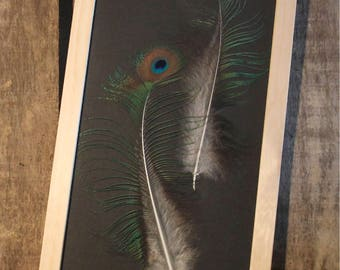 Peacock feathers under framework / unique / the pen box