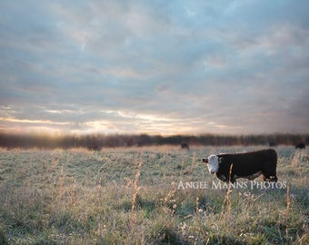 Cow Photograph, Farm Animal Photography, Bull at Sunset, Rustic Home Decor