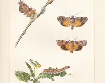 Vintage lithograph of the herald, large yellow underwing, broad-bordered yellow underwing, owlet moths from 1956