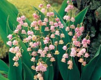 Rare Feng Die  Pink Lily of the valley Convallaria majalis Perennial Flower 50 seeds