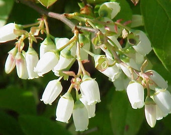 Duke Variety Blueberry Plant - Vaccinium - Blue Berry - 4 to 8 Inches tall - Ready To Plant Northern Highbush Early Fruiting - Bitcoin OK!