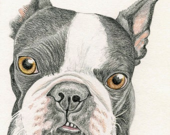 Boston Terrier Original Pencil Drawing 5 x 6 Inches Pet Dog Art-Carla Smale