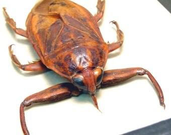 Real Lethocerus Grandis Giant Framed Flying Water Bug 2154