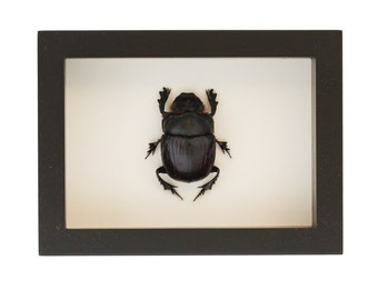 Elephant Dung Scarab Beetle Insect Art Display