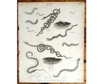 1809 WORMS ANTIQUE ENGRAVING - sea life - original antique print - ocean animal - vermes