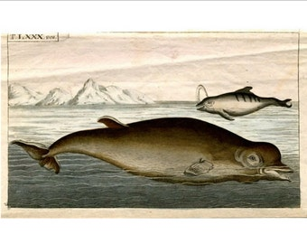 1813 DOLPHIN - ANTIQUE ENGRAVING -  mini original antique print - ocean sealife engraving