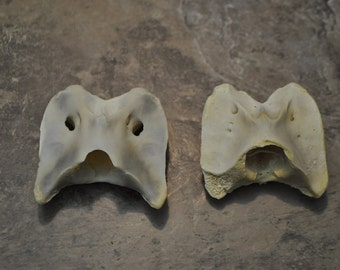 Pair of Real Pronghorn Antelope Vertebrae Atlas Bones