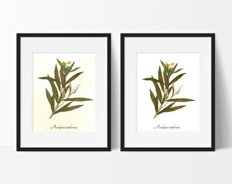 Butterfly Weed Botanical Print - Reproduction Herbarium Art - Botanical Art