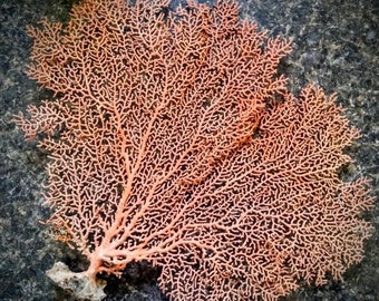 "Natural Dried Sea Fan Coral-10-15"" Natural Color of Rust/Orange/Red, Coastal Home Decor/ Floral Arrangement/ Mermaid Crown/ Craft Supplies"