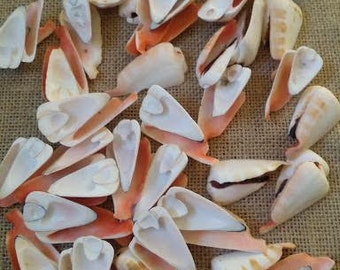 "Opening Side Sliced Strawberry Strombus Conch Shell 1-1.5"" Spiral Seashell, Arts and Crafts, Home Decor & Supplies, Sailor's Valentines"