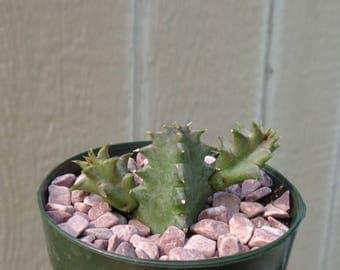 Lifesaver Cactus-Huernia Zebrina