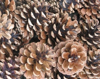 100 ponderosa pine cones larger sizes christmas crafts fall crafts natural woodland wedding