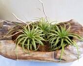 3 Large Air plants - Brachycaulous  - Diy projects - Terrariums - Moss - Plants - Greenery