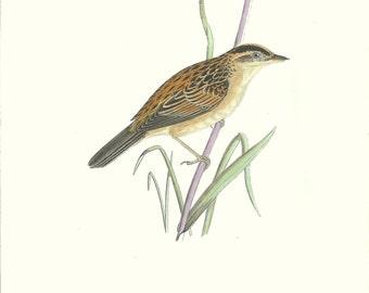 Bird Print Antique, Aquatic Warbler, History of British Birds, F O Morris, 1851
