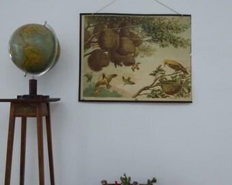 Original Antique Ploceus & Golden Oriole School chart - Bird Lithograph Poster 1879 - Emil Schmidt
