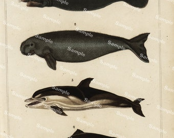 Animal Natural History original hand colored print of seals and dolphins sover 150 years old Rare find