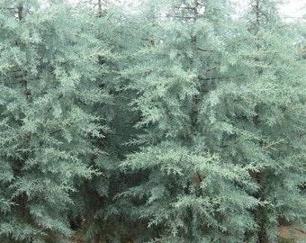 Blue Ice Arizona Cypress Tree - Live Plant - Quart Pot