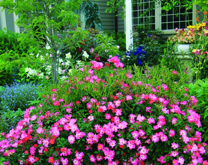 Pink Drift® Rose Bush - Repeat Blooming Low Maintenance Plant Hot Pink Flowers Grown Organic Potted - Own Root Non-GMO Spring Shipping