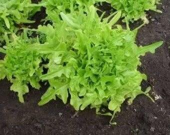 Green Oakleaf Lettuce  100+ seeds