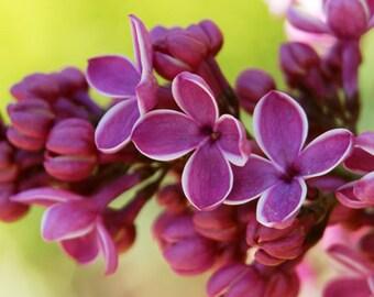 TSL) SENSATION LILAC~Seeds!!!~~~~~Wonderful Picotee Edges!