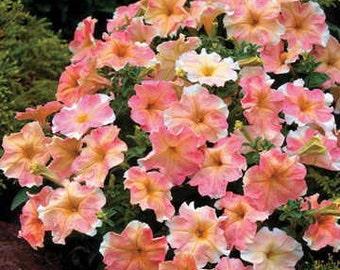 APE) DOLCISSIMA FLAMBE Petunia~Seed!!!~~~~Understated Beauty!