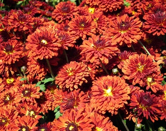 PBCHR) ORANGE RUST Chrysanthemum~Seed!!~~~~~~~Lovely Semi-Double!!