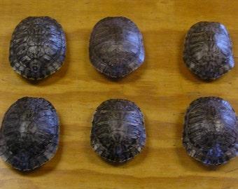 "6 - 4"" Red Ear Slider Turtle Shells"