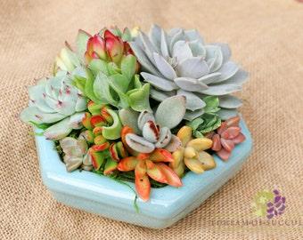 The Hexi-succulent arrangement/centerpiece in BABY BLUE hexagon container/bowl