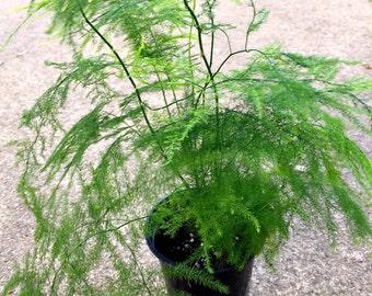 Fern Asparagus Plant Bush Falcatus Shrub Fragrant Bird Atract Flowering, Ming Fern Plant, Foxtail Plant, Plumosus Fern Plant