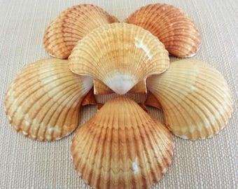 Scallop Shells, Mexican Deep Scallop Shells, Sea Shells, Beach Decor, Seashells, Shells, Craft Shells, Coastal Decor, Nautical Decor