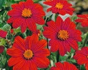 Sunflowers- Mexican Red, - 50 Seeds each pack